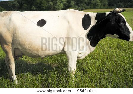 Cow On A Summer Pasture.