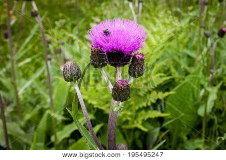 Thistle buds and flowers on a summer field. Thistle plant is the symbol of Scotland