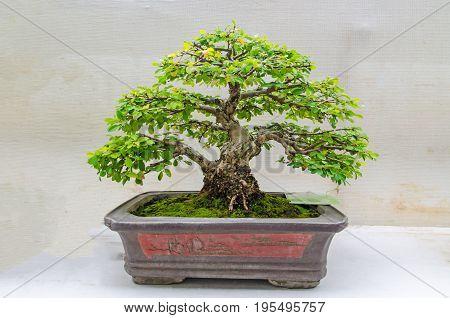 11-8-2016 bonsai trees in Lanna August 12th Queen Sirikit Botanic No. 35 in Chiang Mai Thailand.