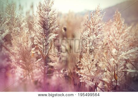 Seeds of reed - cane, beautiful dry reed (cane) in meadow
