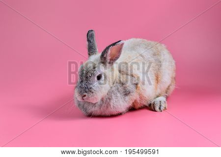 fluffy bunny sit on clean pink background Rabbit mature