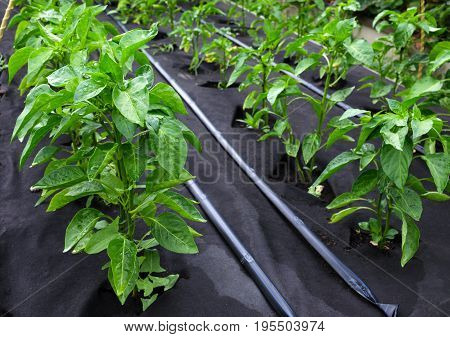 Bushes Of Sweet Pepper, Grown In A Box For Seedlings On A Protective Polypropylene Spunbond Agricult