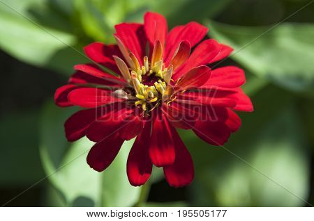 This is an image of a red flower with blurred background