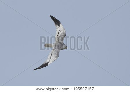 Montagus harrier in flight with blue skies in the background