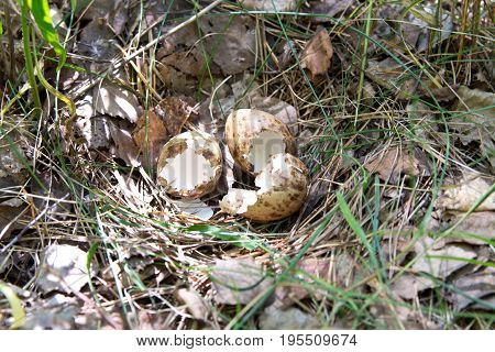 Empty Partridge Eggs In The Nest In Their Natural Habitat, In The Woods. The Chicks Hatched And Left
