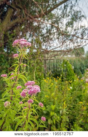 Closeup of a pale dusty pink flowering hemp-agrimony or Eupatorium cannabinum plant in the foreground of a rural Dutch landscape on a cloudy day in the beginning of the summer season.