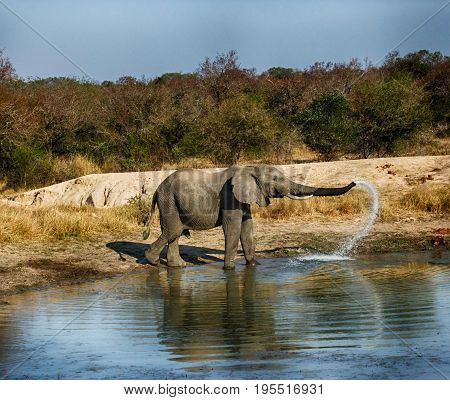 Elephant at the watering hole in a game park in Africa