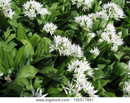 Freshly green and blooming wild garlic in the forest