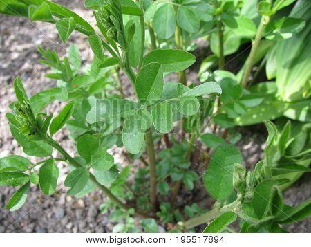 Fresh green liquorice plant in a garden