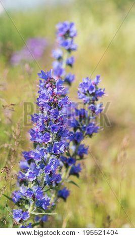 Blue meadow flowers in summer (Echium vulgare)