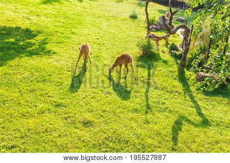 European roe deer capreolus eating green grass