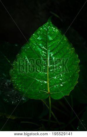 green leaf Bodhi Tree,have water drop.green leaf Bodhi Tree,have water drop.