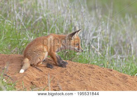 Little Fluffy Fox In The Meadow