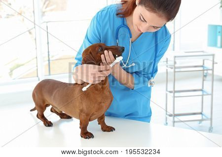 Veterinarian brushing dog's teeth with toothbrush in animal clinic