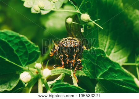 macro photo of an insect of the Cicada emits unpleasant sound in their natural habitat