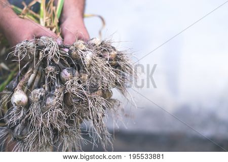 Garlic in the hands of a man with a blurred background