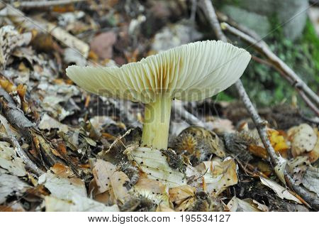 Beautiful gray mushroom in the forest. Common fungi in wet rainforest