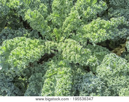 picture of a sunny illuminated cabbage plants closeup