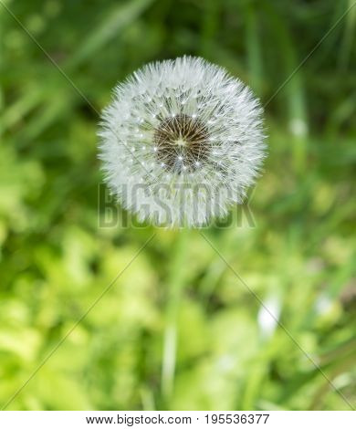 closeup shot of a dandelion blowball in sunny green ambiance