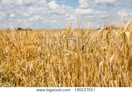 Agricultural field where harvest of cereals. Blue sky. crop cultivation dry rye stems harvest season healthy nutrition concept. Golden Grains of Grain.