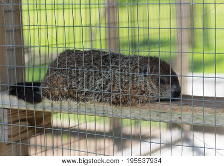 Big Groundhog In A Zoo Behind A Fence