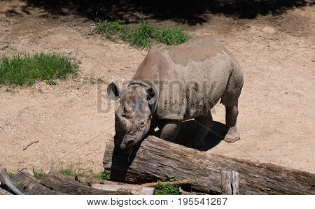 Big Rhino In A Milwaukee County Zoo