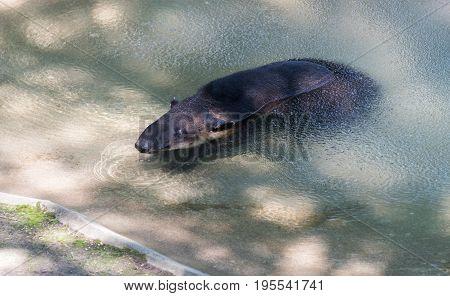 Big Tapir Swimming In A Milwaukee County Zoo