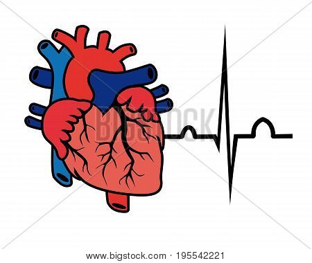 vector cardiogram and heart on a white background