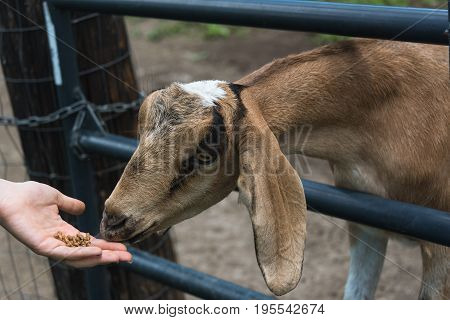 Big Young Goat On A Country Side Farm