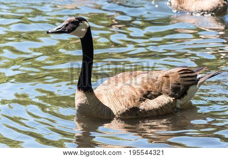 Goose On A Lake In A Zoo