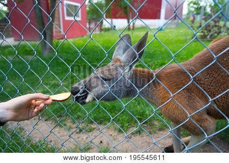 Kangaroo Behing The Fence Eating An Apple From A Woman's Hand