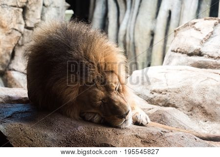 Lion Laying On A Big Rock In A Zoo