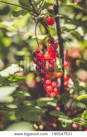 redcurrant collection. collects ripe red currant berries