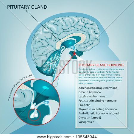 Pituitary gland detailed vector illustration.  Medical anatomy of human brain cross section. Hypophysis infographic in light blue colours.