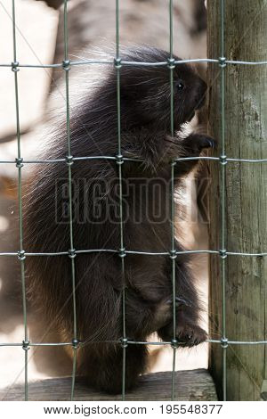 Small Young Porcupine Sitting On The Fence