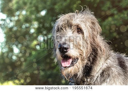 Portrait of an Irish wolfhound on a blurred green background. A large gray dog looks forward with interest. Selective focus image