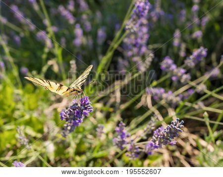European Swallowtail butterfly (Papilio machaon) on lavender flower.