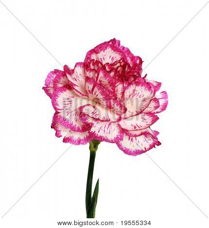 Pink and white flower isolated on a white background
