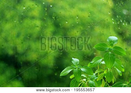Vibrant green Sweet Basil plant leaves against blurry green foliage through window glass with raindrops