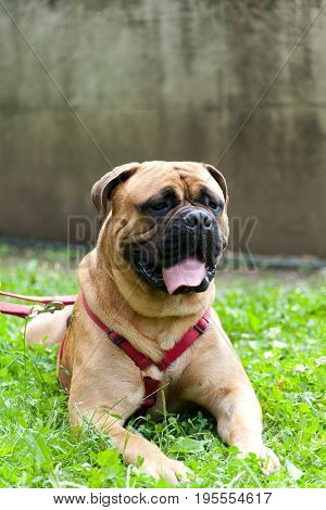 Adult Young Male Mastiff With Red And Gold Leash And Bib On Green Grass With Wall Behind