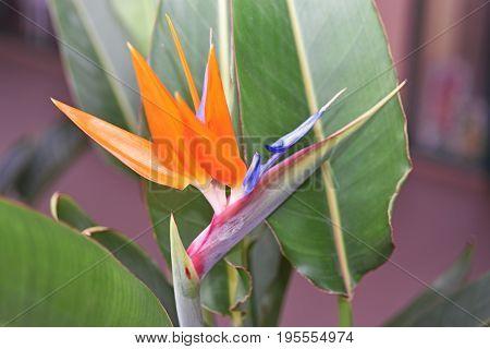 Strelitzia - Traditional Flower Of Madeira Island.