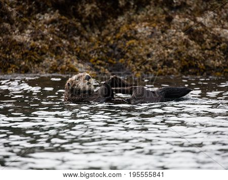 Sea otter in the gulf of Alaska floating on his back