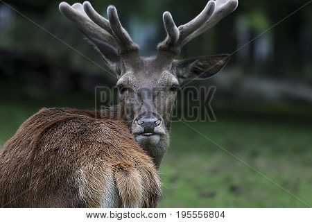 The stag is watching you in your eyes