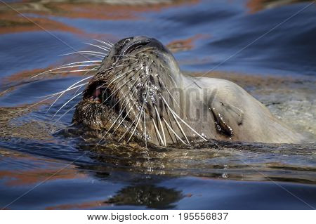 A whisker sea lion swimming in water