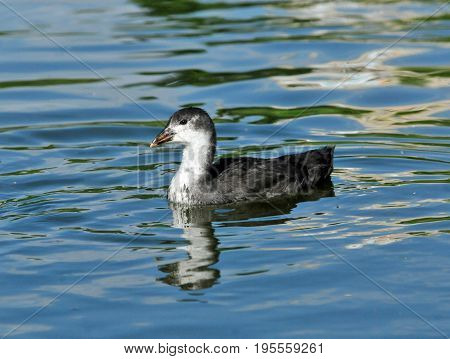 Eurasian coot, bird - a small waterfowl. Rail bird. Nestling, duckling.