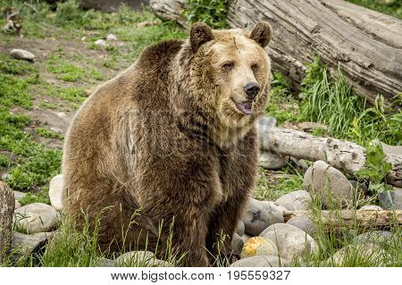Cute but large grizzly bear. A captive grizzly bear in Montana is sitting by rocks.