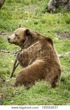 Grizzly sits with a stick. A captive grizzly bear is being playful with a stick near Bozeman Montana.