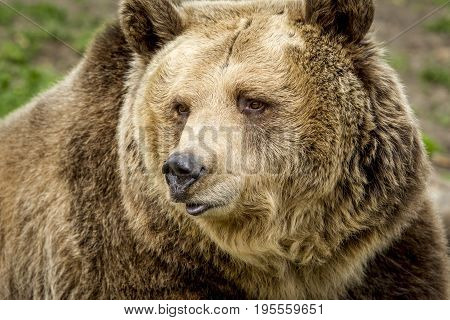 A close up image of the face of a captive grizzly bear in Montana.