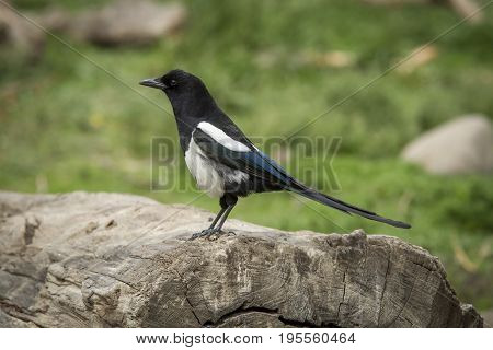 A cute magpie is perched on an old log.