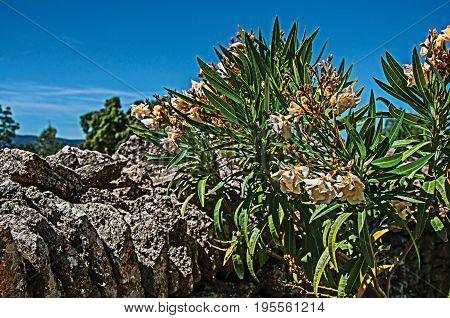 Close-up of stone walled fence and flowers under sunny blue sky, in the Village of Bories, near the town of Gordes. Vaucluse department, Provence region, in southeastern France. Retouched photo